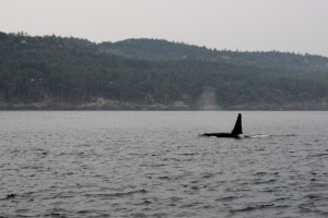 An orca at the north end of San Juan Island