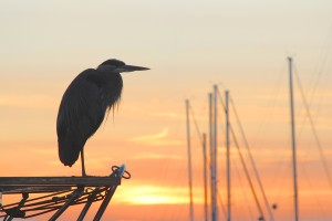 Dockside neighbor; great blue heron sharing the sunset