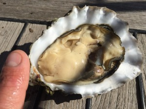 Pacific Oyster from Port Ludlow
