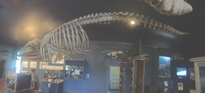 Whale skeleton in the Friday Harbor Whale Museum