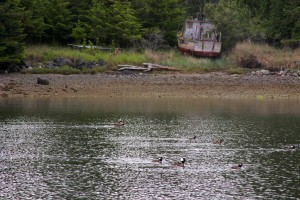 Hooded mergansers and a wooden fishing trawler, Shaw Island